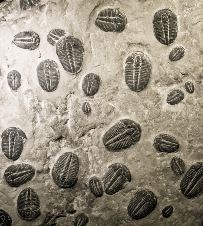 marine animals: ancient trilobites fossils in stone