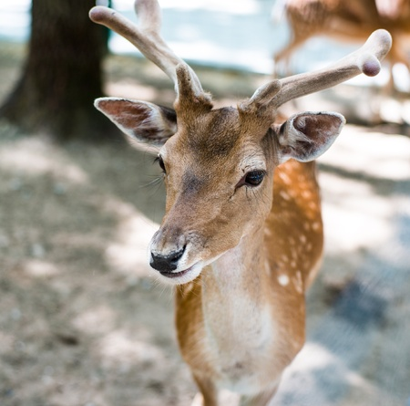 whitetail buck: young deer looking at camera
