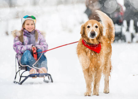 Golden Retriever pulls the sledge with a little girl in the snow photo