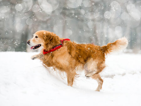 Running red retriever in the snow in winter photo