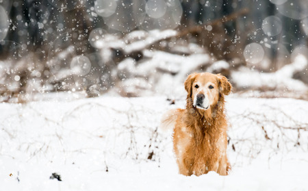 red retriever in the snow in winter photo
