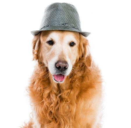 red retriever in a gray hat on white  photo