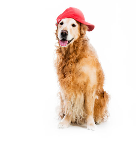 baseball hat: redhead Retriever in brown baseball backwards isolated  Stock Photo