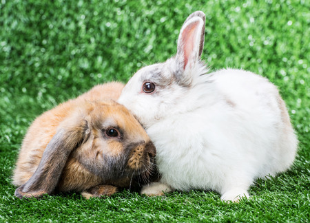 white rabbit: two rabbits playing on the green lawn