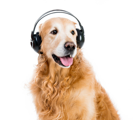 red retriever with headphones on a white background photo