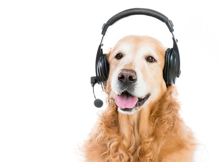 beautiful red retriever with headset isoleted on a white background