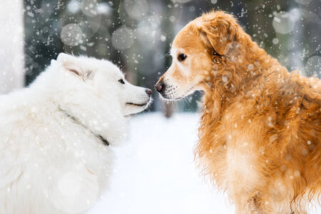 beautiful red and white husky retriever in the snow in winter photo