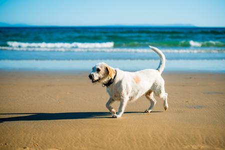 Terrier dog runs happily on the seashore photo