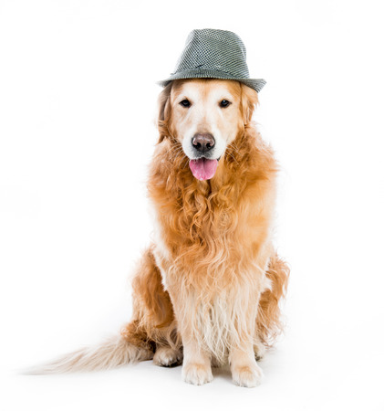 brown clothes: beautiful red retriever in a gray hat isolated on white background