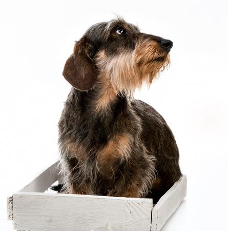 Longhair dachshund isolated on white background photo