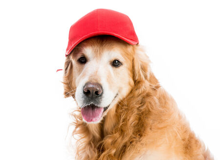 baseball hat: redhead Retriever in brown baseball isolated on a white background