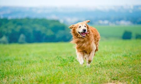 dorado: Perro perdiguero de oro que se ejecuta en el campo