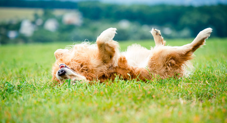 beautiful dog breed golden retriever lying in the grass on the back