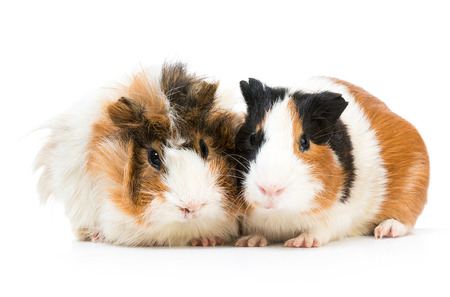 Pair of cute guinea pigs isolated on a white background photo