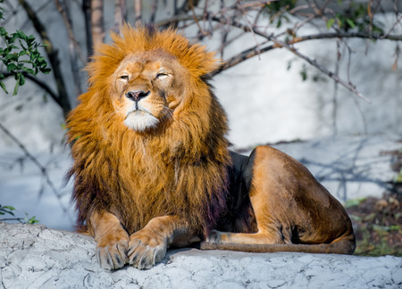 large lion lying on a stone in the park photo
