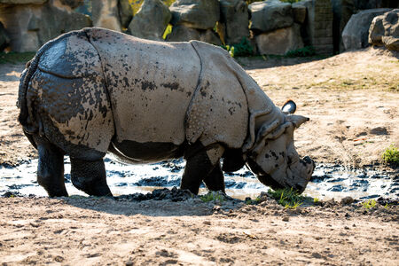 wildlife reserve: large rhino in the park
