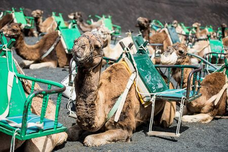 saddle camel: resting touristic camelcade on Lanzarote of the Canary islands