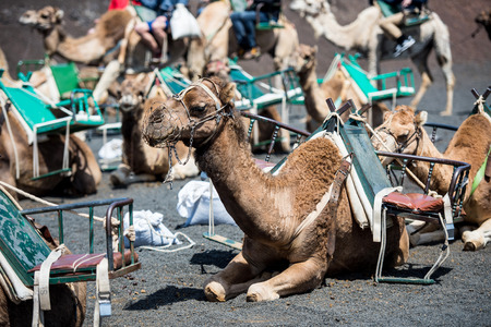 saddle camel: camel rests in the middle of the road
