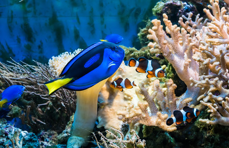 blue fish: beautiful tropical blue fish and clownfish in aquarium Stock Photo