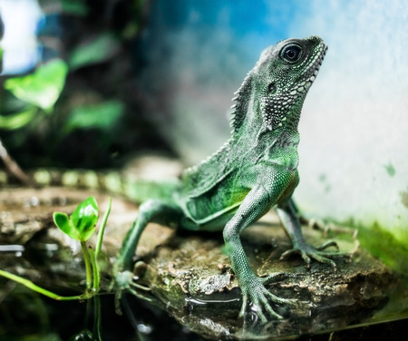 species of creeper: lizard with spikes on bruch in terrarium