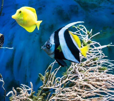 blue tang fish: beautiful tropical blue fish and clownfish in aquarium Stock Photo