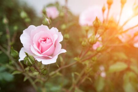 pink rose: pink rose bush with flowers and green buds