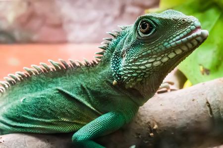 lagartija: lagarto con los puntos en bruch en terrario