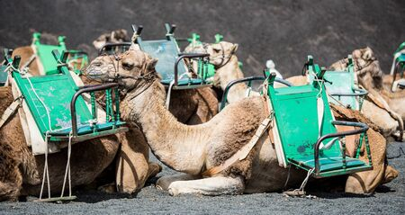 lanzarote: resting touristic camelcade on Lanzarote of the Canary islands