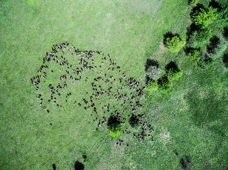 aerial animal: flock of sheep grazing on spring green field, top view