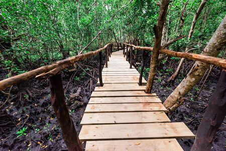 beautiful green mangrove forest with wooden path inside in Zanzibar, Africa Stock Photo