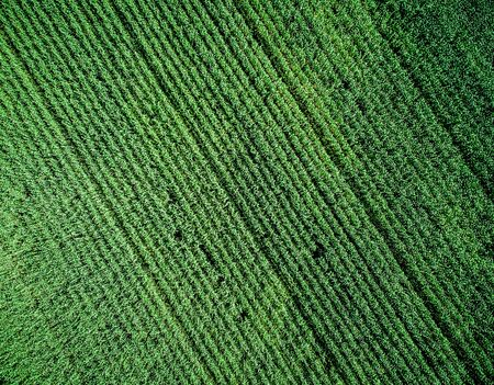 champ de mais: green country field with row lines, top view, aerial photo