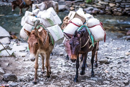 Two old donkeys carrying goods through stone trail in Nepalese Himalayas. Stockfoto