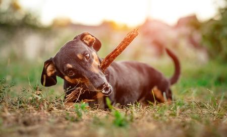 Playful black-brown dachshund nibbling a stick