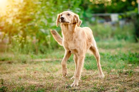 Cute light fur dog joyfully coming