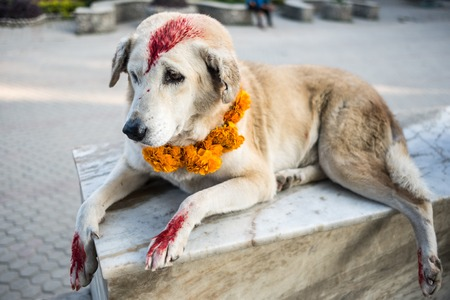 Dog with yellow flower necklace colored with red spots for the Kukur Tihar dog festival in Nepal Banco de Imagens