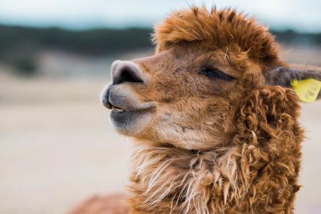 Closeup view of brown lama Foto de archivo - 116572840