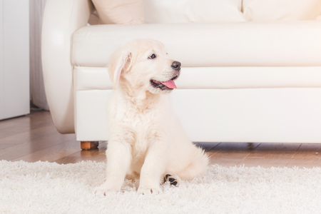 Fluffy retriever puppy sitting on carpet at home