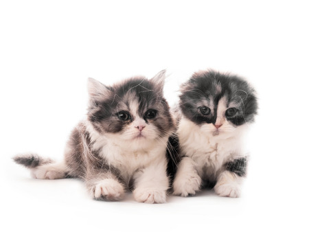 Two cute Scottish breed kittens lying isolated on white
