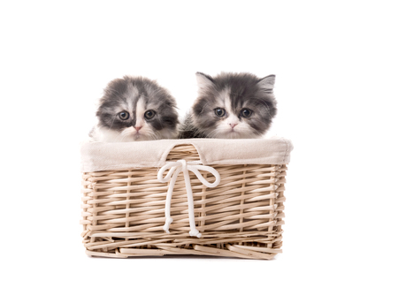 Two cute scottish breed kittens in basket isolated on white