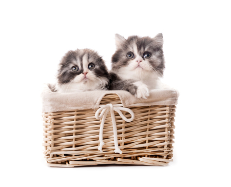 Two cute scottish breed kittens in basket isolated on white background