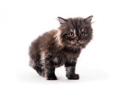 Cute furry dark kitten looking aside isolated on white background Stock Photo