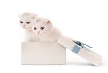 Cute white kittens in gift box isolated on white background