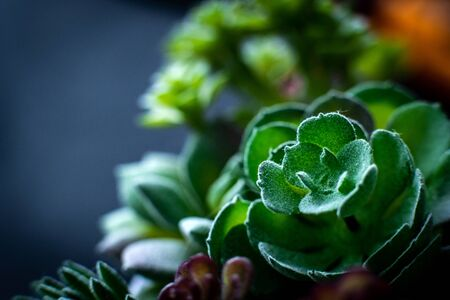 Macro picture of beatiful little round succulent plant Zdjęcie Seryjne