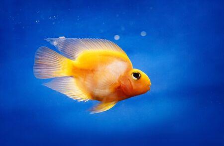 One incredibly beatiful yellow fish in water tank, closeup