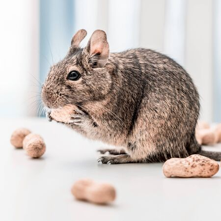 Degu squirrel or Octodon degus gnaw peanut standing on white table