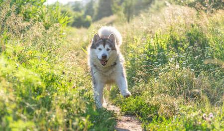 Funny dog running along path between summer grass