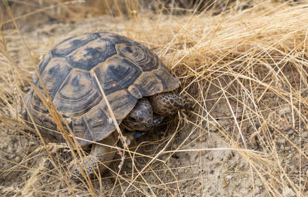 Land turtle crawling on dried grass