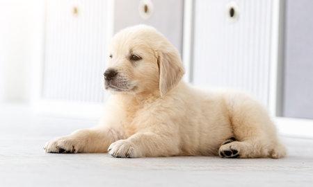 Lovely golden retriever puppy indoors