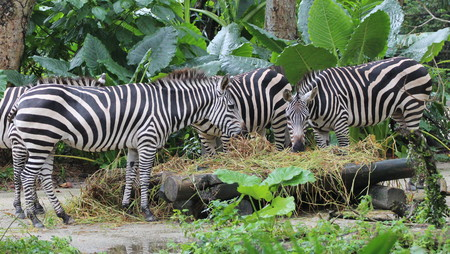 Several zebras chew the grass on a sunny summer day