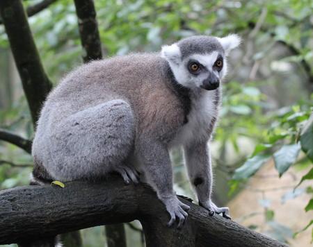 Macro image of lemur